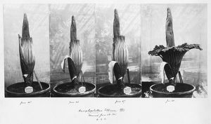 Amorphophallus titanum flowering, 1901