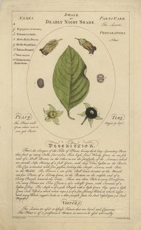 Atropa belladonna - Deadly nightshade