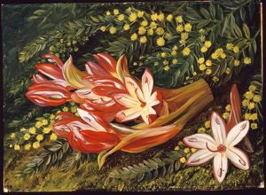 'Australian Spear Lily and an Acacia'