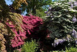 Azaleas,Wisteria and Rhododendrons