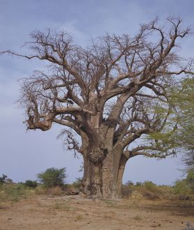 Baobab trees between San and Mopti