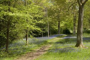 Bluebells in Bethlehem Wood