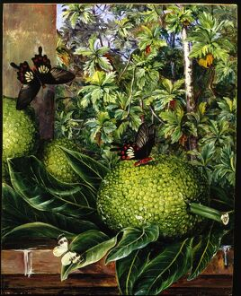 'The Breadfruit, painted at Singapore'.