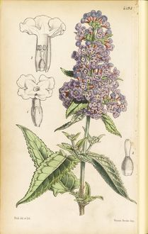 Buddleia crispa, Fitch W,