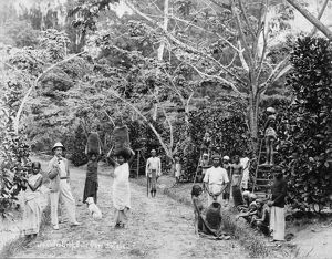 Coffee harvest at Batu Cave Estate, Singapore, 1899.