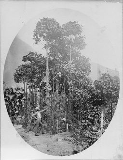 Cultivation of Cinchona succirubra trees on the Madulsima Cinchona Cos estate, Ceylon (Sri Lanka) 1882.
