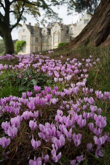 Cyclamen at Wakehurst Place