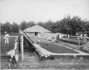 Drying coffee in the Straits Settlements, Southeast Asia, 1899.
