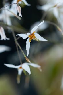Epimedium pubescens