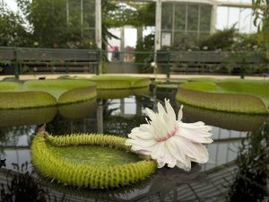 flower of the giant waterlily