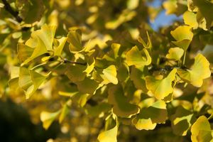 Ginkgo biloba, Maidenhair Tree,