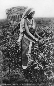 Harvesting tea leaves, India