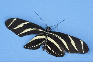 Heliconius Charatonia Butterflies