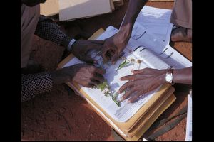 Herbarium preparation of Ipomoea eriocarpa in the field