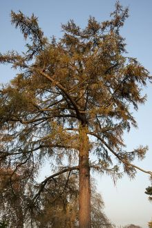 Larix decidua, European Larch,