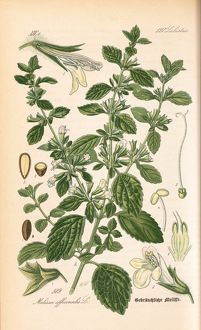 Melissa officinalis, lemon balm
