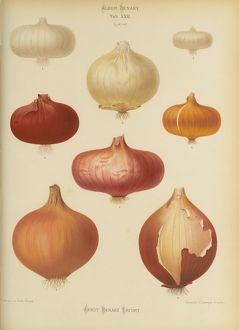 Onion, Allium cepa.