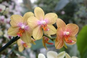 orchid hybrid