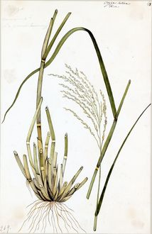 Oryza sativa, L. (Rice)
