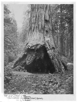 """Pioneer's Cabin"" at the base of a Sequoiadendron giganteum"