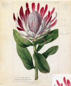 Protea formosa, R.Br. (Crown-flowered Protea)