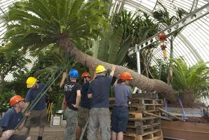 Repotting the oldest potplant in the world at Kew Gardens