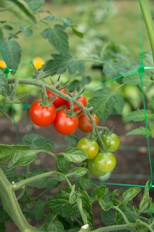 Ripening tomatoes on the vine
