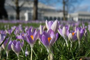 Spring Crocus in front of the Temperate House