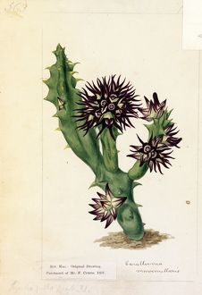 Stapelia pulla, Ait. ('Black-flowered Stapelia')