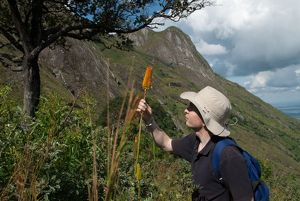 Studying Kniphofia (red hot pokers) on an RBG Kew expedition to Malawi