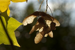sycamore seeds