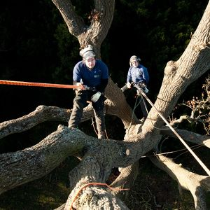 Tree surgeons, RBG Kew