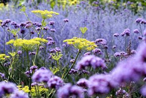 verbena and fennel