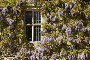 Wisteria at Wakehurst Mansion