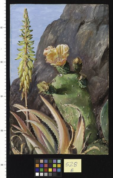 prints of 528. aloe and cochineal cactus in flower, teneriffe #5101288