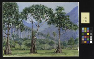 066, Screw Pines and Avenue of Royal Palms in the Botanic Gardens, Rio