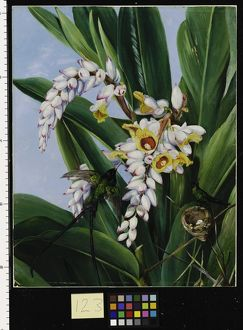 123. Foliage and Flowers of Alpinia nutans, and a pair of Doctor