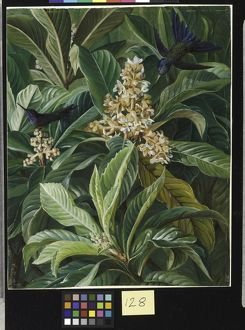 128. Foliage and Flowers of the Loquat or Japanese Medlar, Brazi