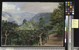 177. Coffee Plantation at Clifton Mount, and the Blue Mountains