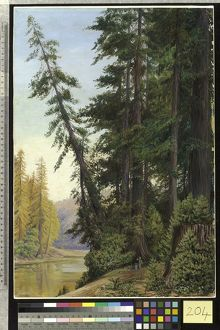 204. View in a Redwood Forest, California.