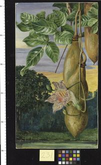 231. Foliage, Flowers, and Fruit of an African Tree painted in I
