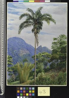 43. Tijuca, Brazil, with a Palm in the foreground.