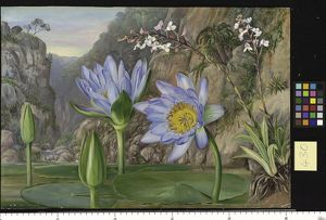 botanical art/marianne north/430 water lily surrounding vegetation van staadens