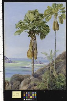 476. Male and Female Trees of the Coco de Mer in Praslin