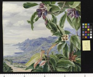 492. The Clove in fruit, and view over Mahe, Seychelles.