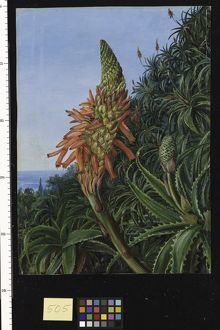 505. Common Aloe in Flower, Teneriffe