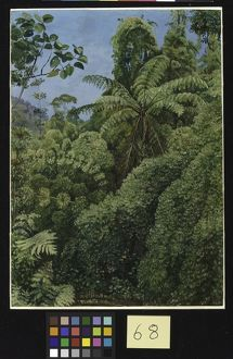 68. Tree Ferns and Climbing Bamboos in Gongo Forest, Brazil