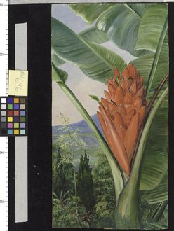 696. Banana, American Aloe, and Cypress, in a Garden, Java