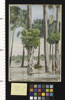 707. Palmyra Palms and Epiphytal Trees in Flood-time, Java