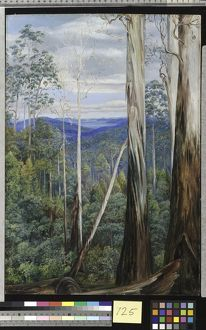 725. Blue Gum Trees, Silver Wattle, and Sassafras on the Huon Ro